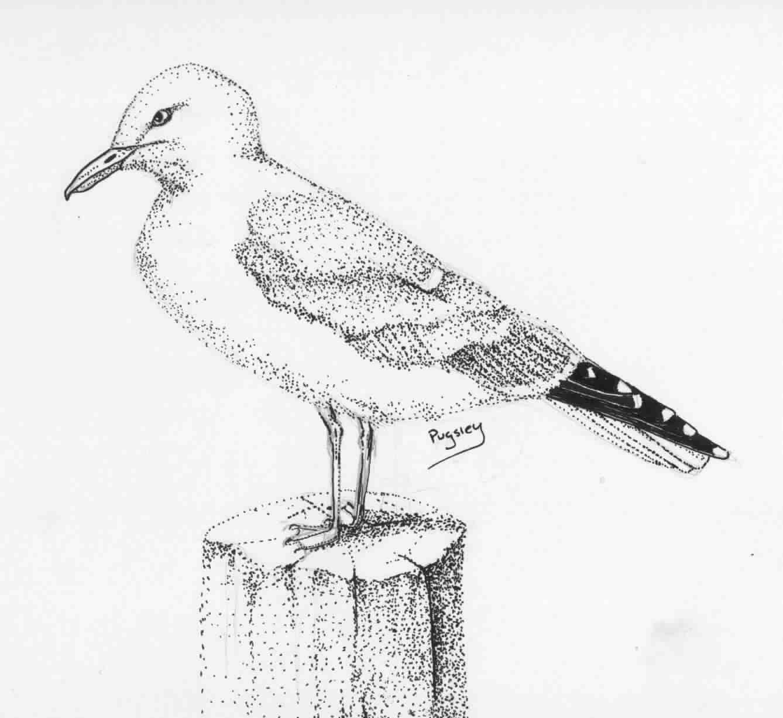 California Gull Clipart
