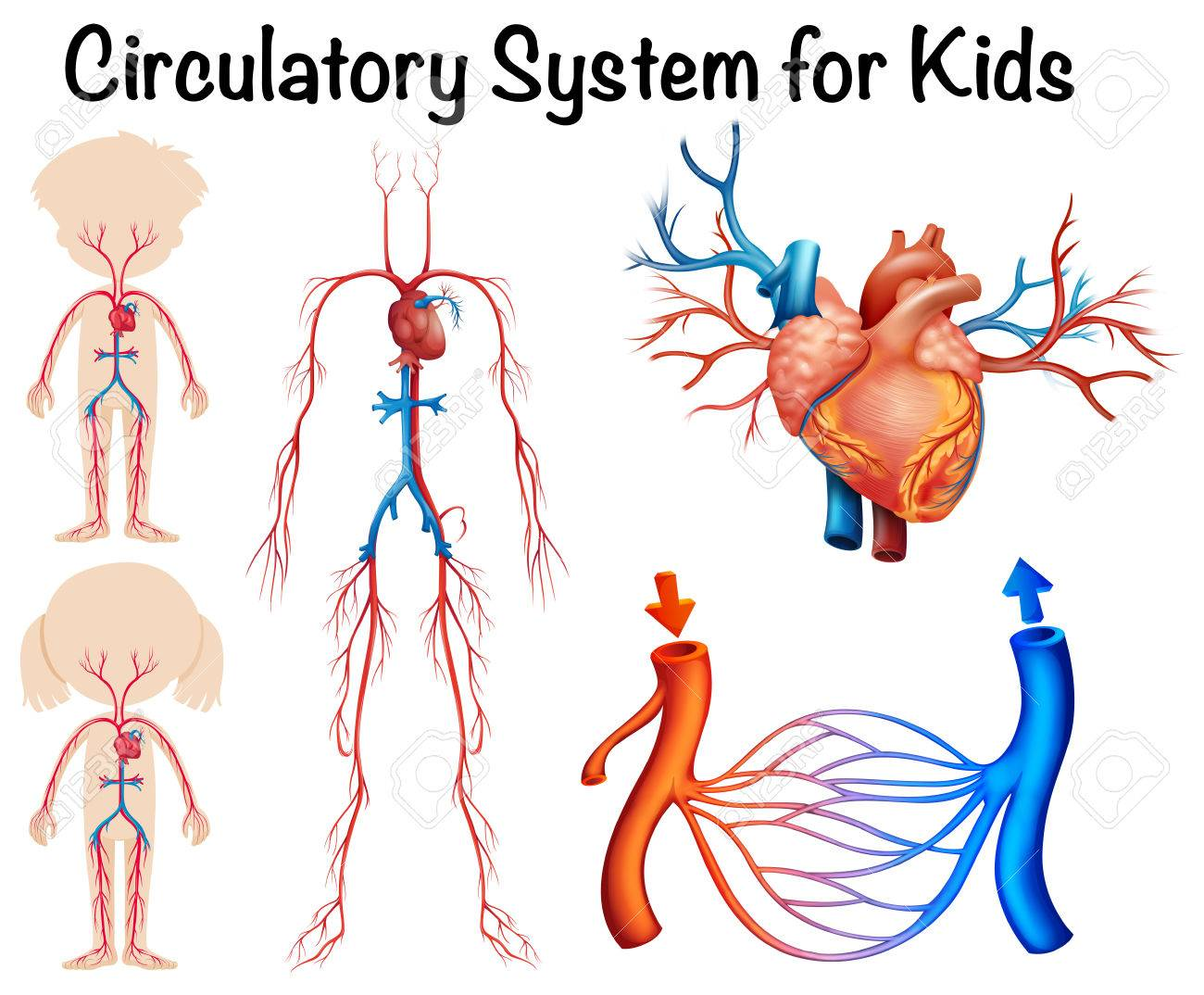 Circulatory System Clipart 20 Free Cliparts