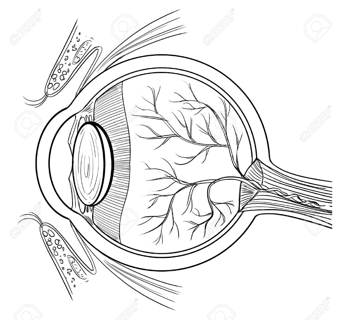 Eyes Anatomy Clipart