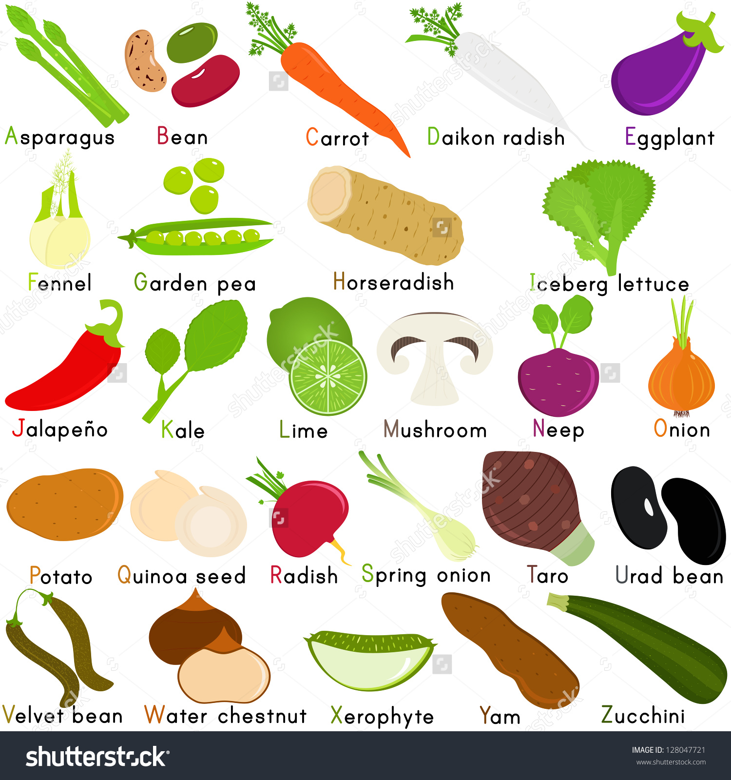 Fennel Vegetable Clipart
