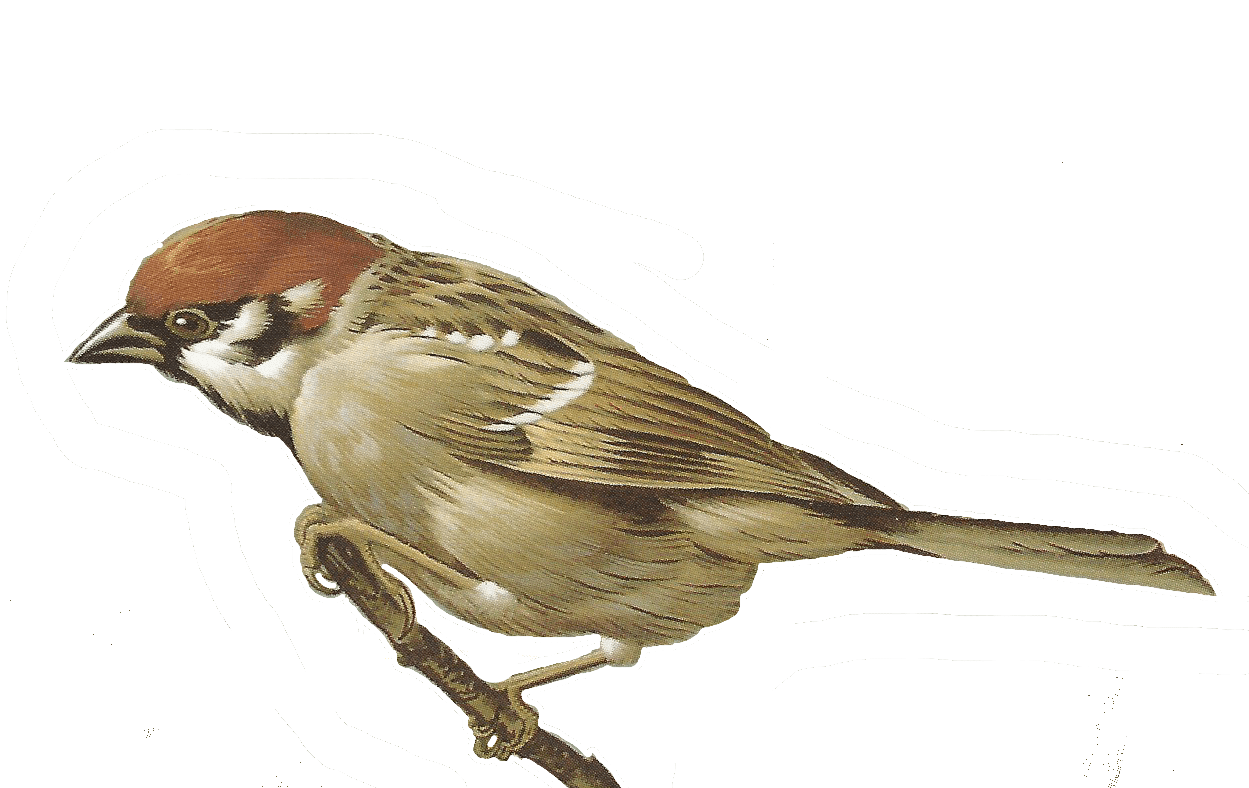 Sparrow Bird Clipart