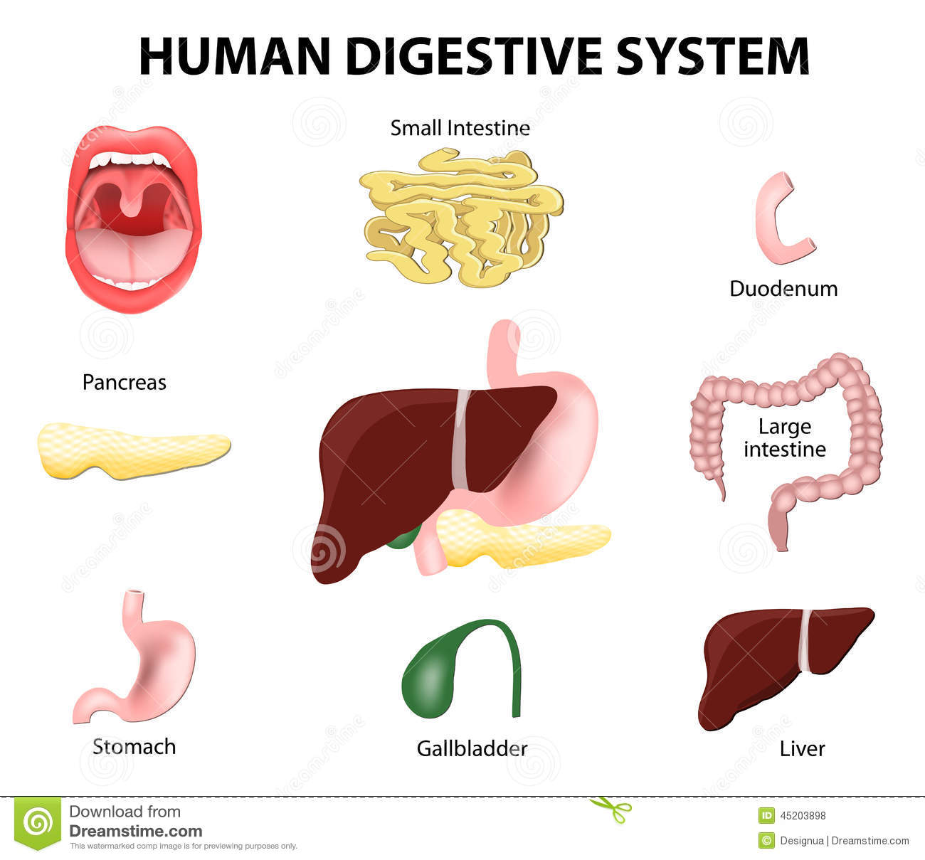 Human Digestive System Clipart 20 Free Cliparts