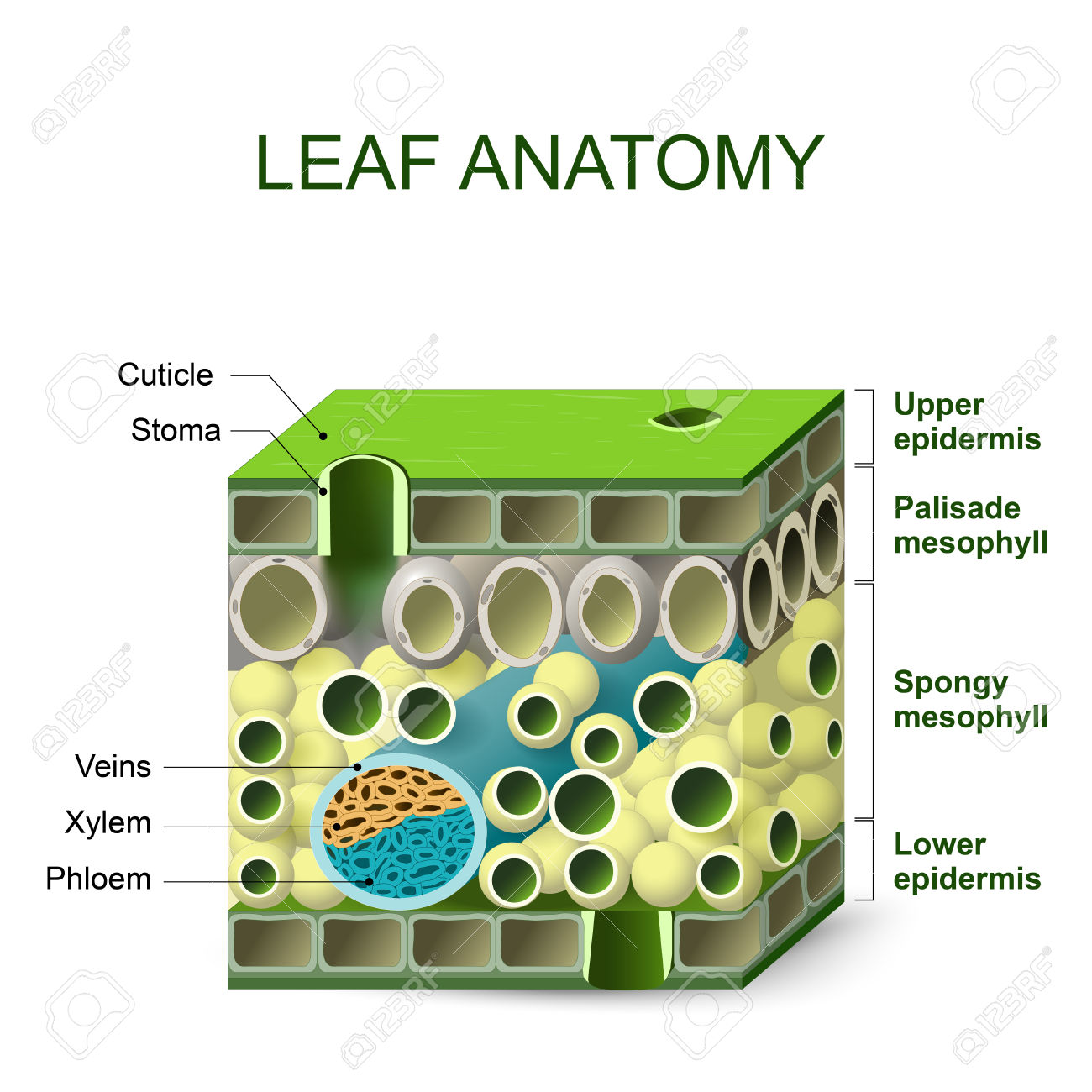 Leaf Structures Clipart