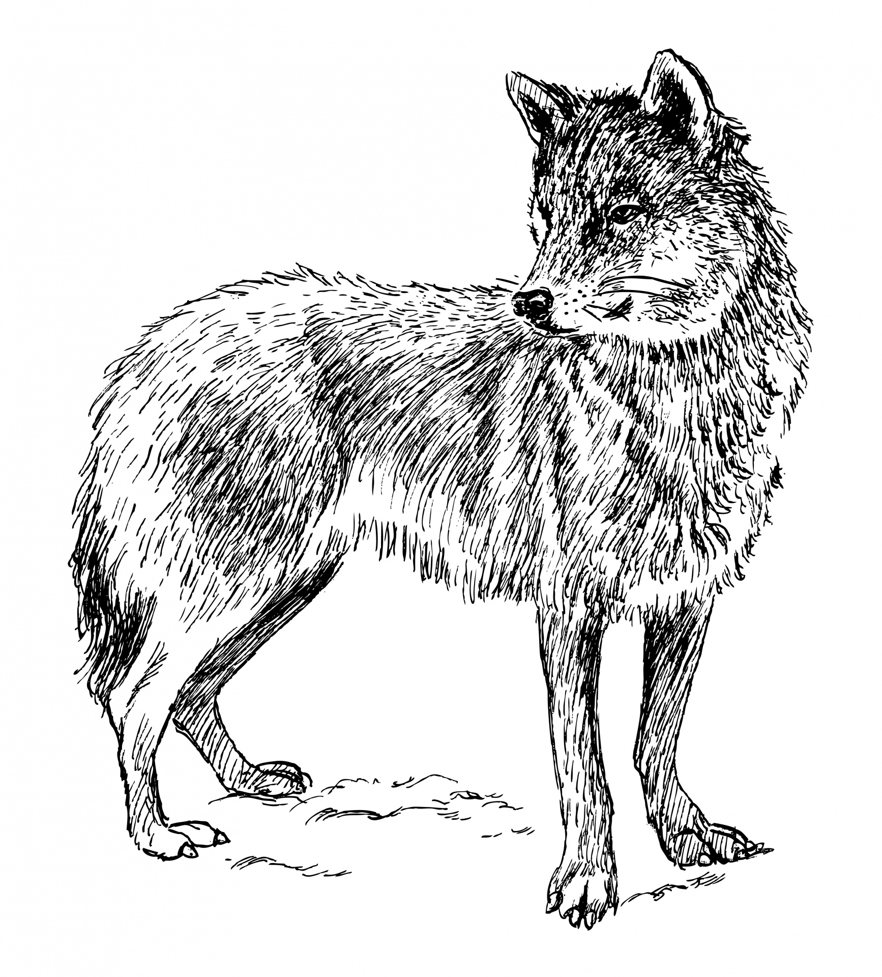 Loup Clipart