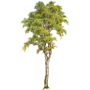 Cartoon Tall Thin Tree Clipart Clipground