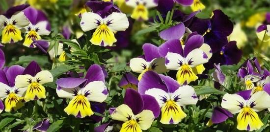 violets-1151592_640