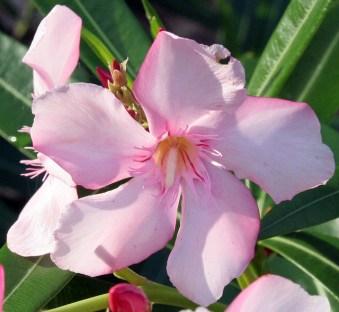 Cuban Flower