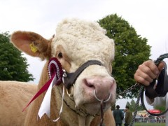 animals-insects-prize-winning-cow-4945