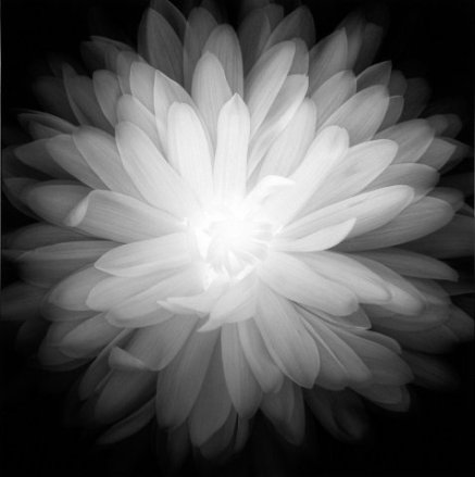 Chrysanthemum_01__1995