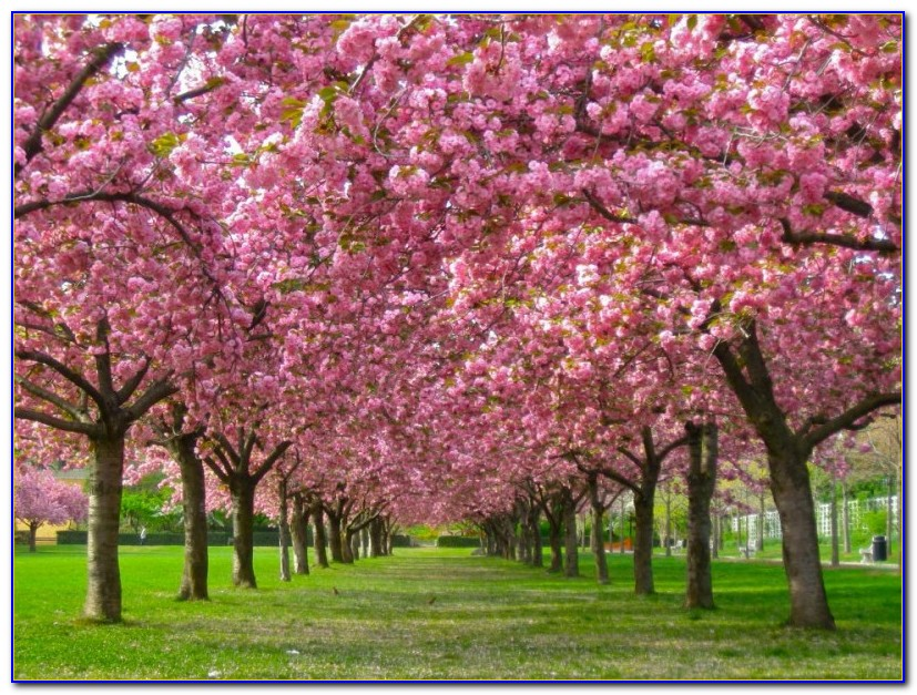 Brooklyn Botanical Garden Cherry Blossom Twitter
