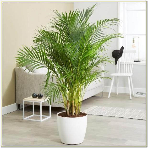 Indoor Living Room Areca Palm