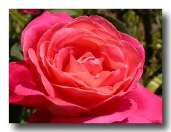 photo-rose-fet-gal-03-copie.jpg