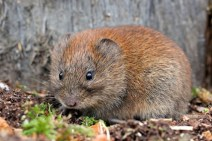 CCC-Members-2012-Bank Vole