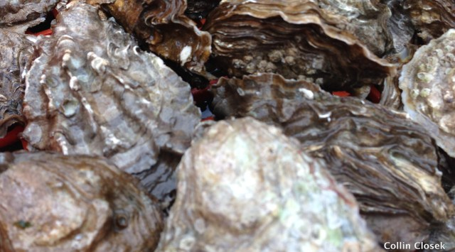 Adult Oysters
