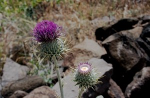 Milk Thistles growing at Agua Fria National Monument