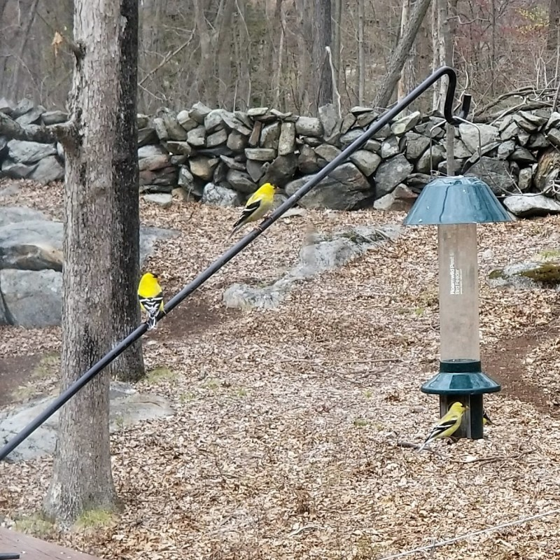 there are a million goldfinches here.