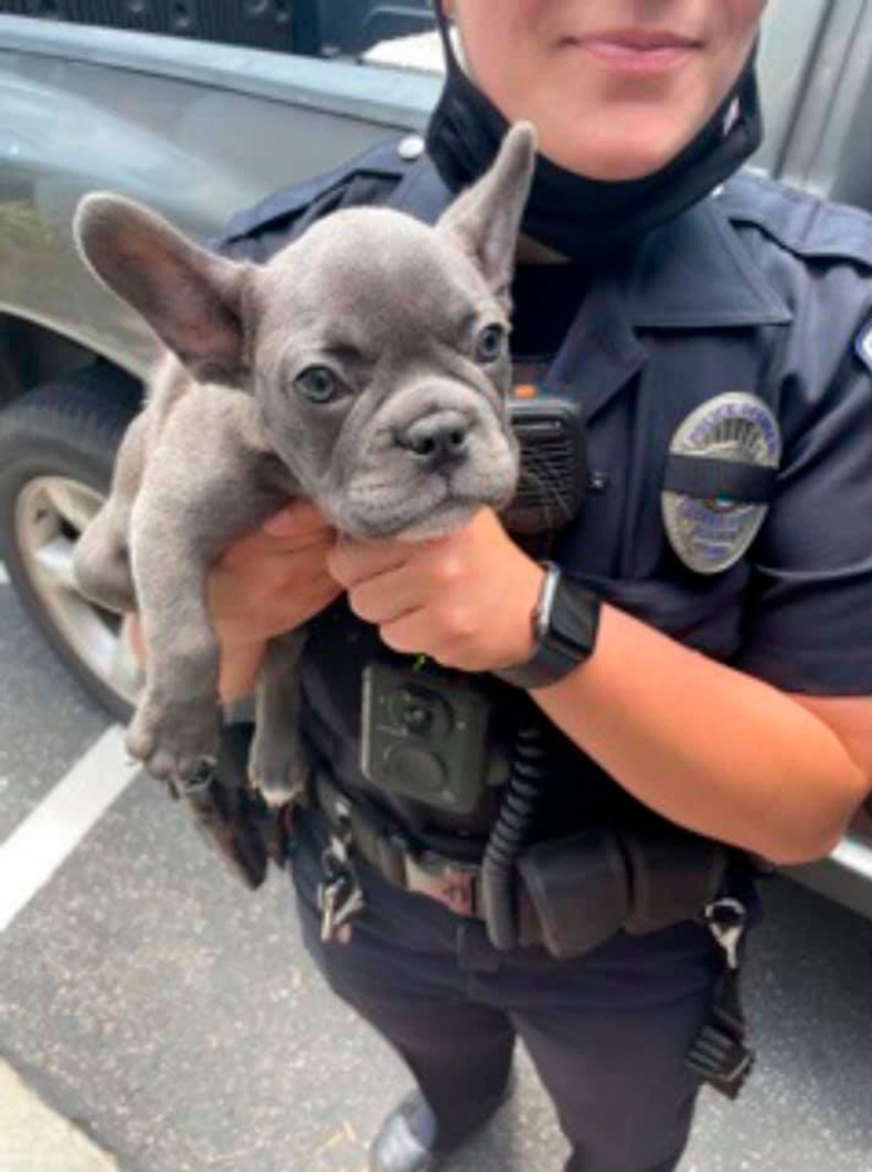 A police officer holds a recovered French bulldog puppy that had been stolen at gunpoint in Los Angeles in May.