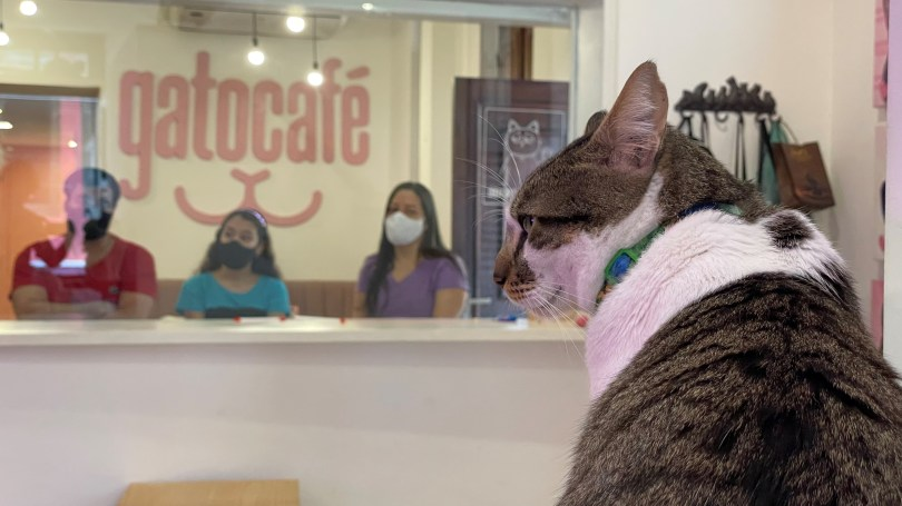 A cat is seen at the Rio cat cafe or Gato Cafe, where customers can relax while adopting a feline, in Rio de Janeiro, Brazil, July 10, 2021. Picture taken July 10, 2021. REUTERS/Leonardo Benassatto
