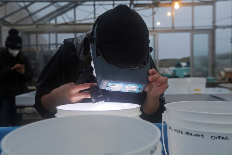 A researcher monitors white abalone soaking in a mixture of seawater and hydrogen peroxide in white buckets at the University of California's Davis Bodega Marine Laboratory in Bodega Bay, California, U.S. March 18, 2021. Picture taken March 18, 2021. REUTERS/Nathan Frandino