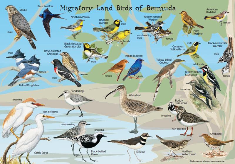 Audubon Society Produces Two Bird ID Cards Bernews