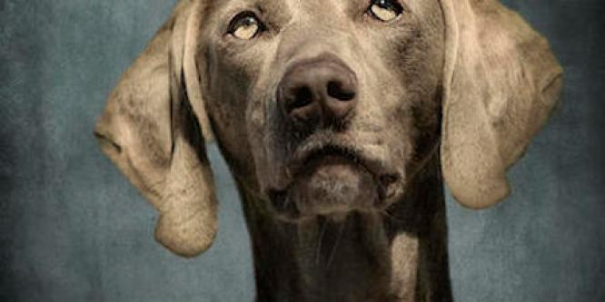 portrait-of-a-weimaraner-dog-wolf-shadow-photography