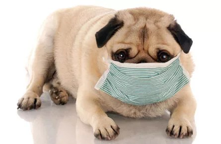 Dog and second hand smoke or vaper in surgical mask