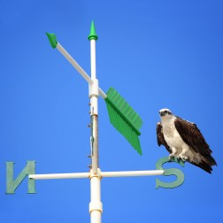 Southerly Osprey