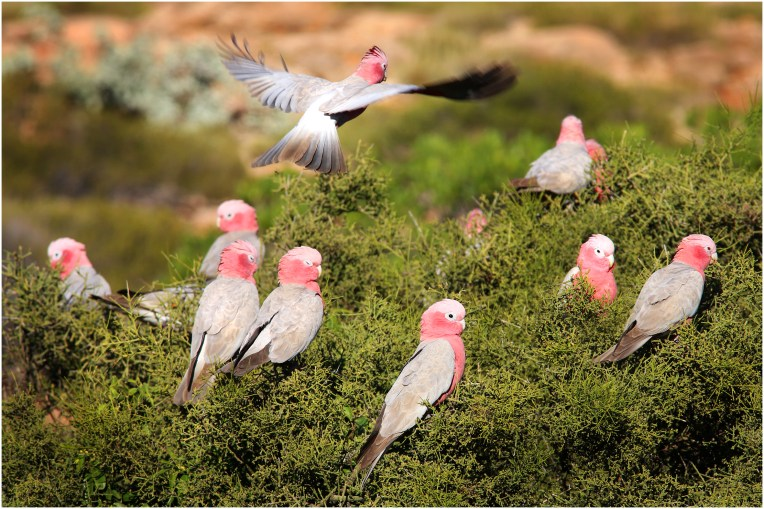 Great Flamin' Galah's