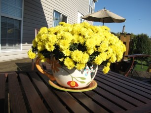 Yellow mums at their peak