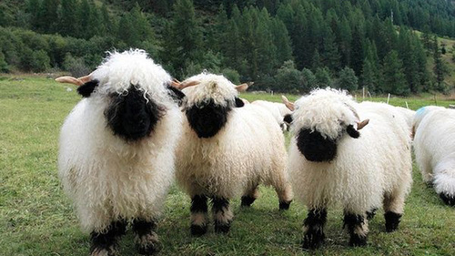 Valais-Blacknose-Sheep-Swiss-Breed-herd