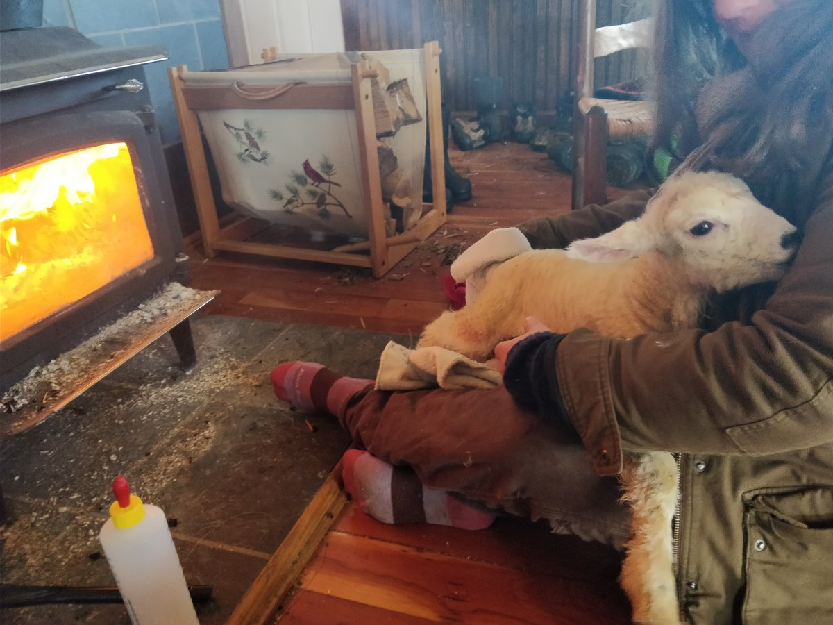 How to warm a cold lamb