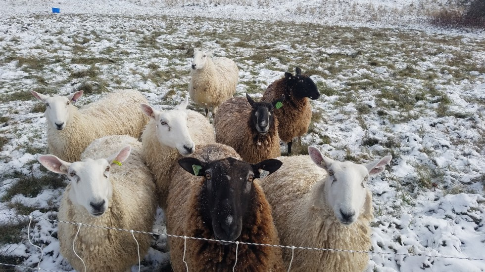 Border Leicester ewes and ram at Cloverworks Farm
