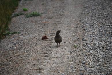 Some kind of pheasant female.