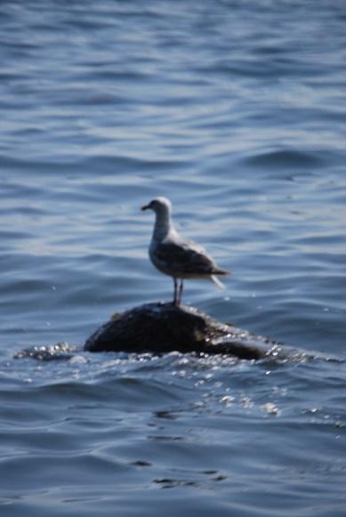 Water Gull