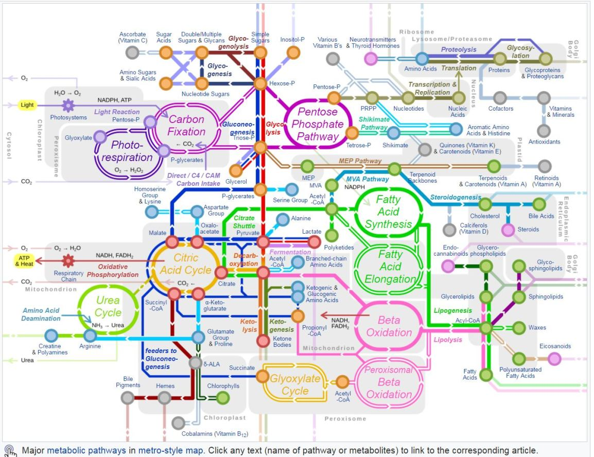 metabolic path.JPG