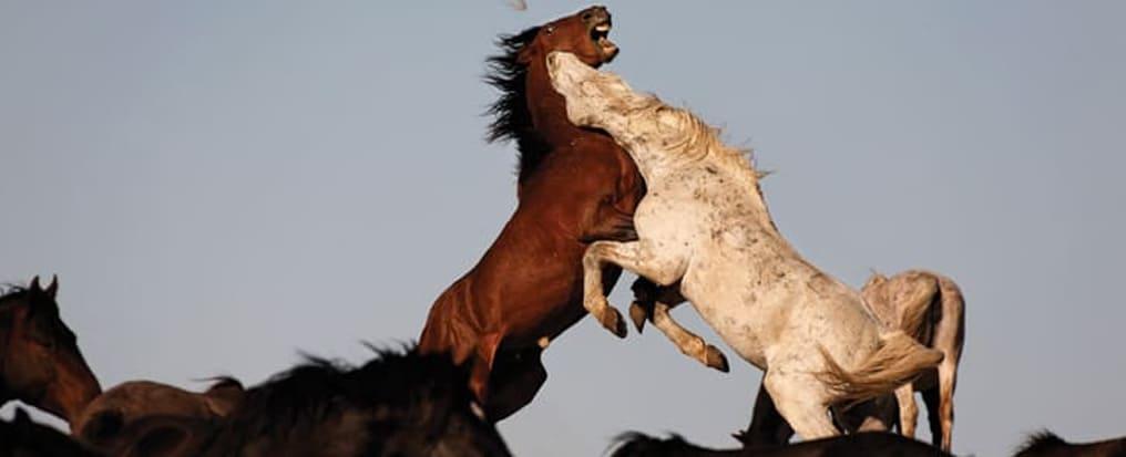 Il cavallo Mustang combatte