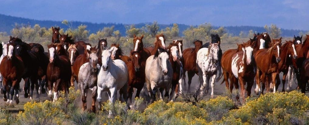 Many Mustang Horse