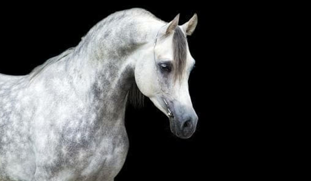 Il Cavallo Arabo