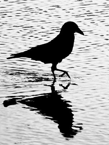 Crow in Black and White