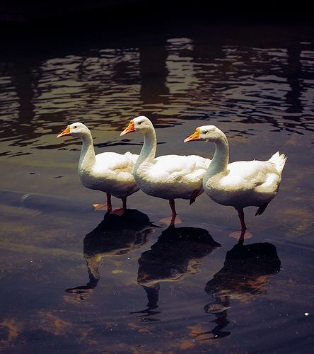 Say Geese!, por VinothChandar