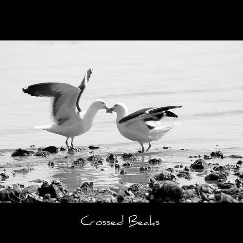 Crossed Beaks, por John-Morgan