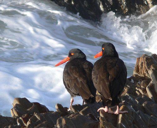 Oyster Catchers, por goingslo