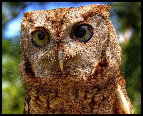 Screech Owl, por twoblueday