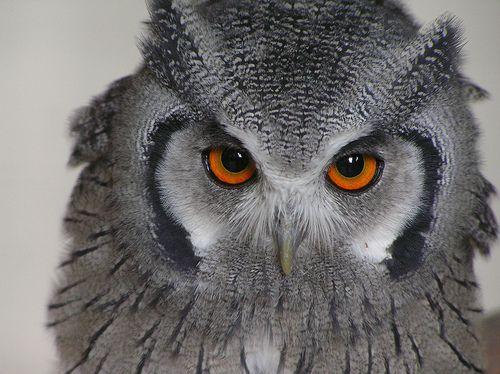 owl, por belgianchocolate