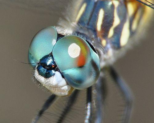 Dragonfly in Macro (Explore), por Lon Martin