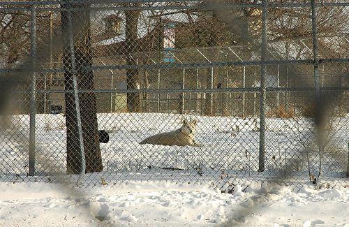 Fenced Wolf, por Brian Hoffman