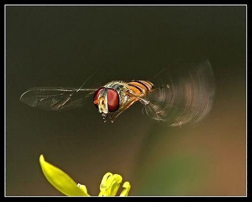 Hoverfly, por Hugh Honeyman Fuller