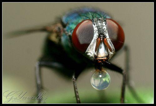 Bubble Blowing Fly, por Gerald Yuvallos