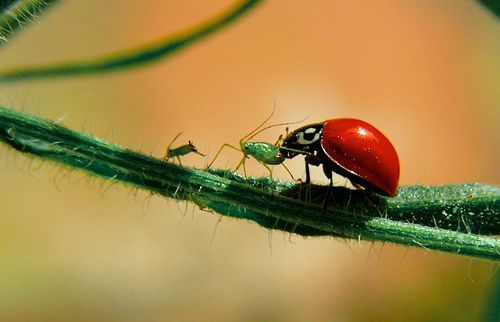 Please don't eat me dear Ladybug, por Anderson Mancini