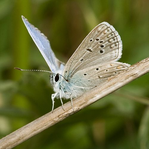 Common Blue, por Stavros Markopoulos